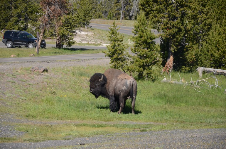 The lone bison