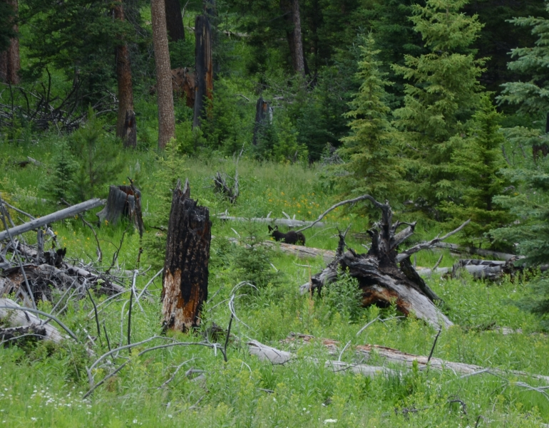 Spot the bear. They are tough to spot. This was a baby bear which looked more like a wolf from the distance